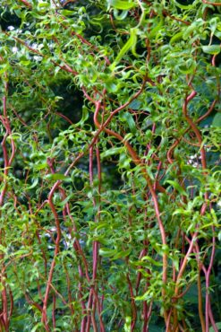 Scarlet curly willow (Salix x matsudana 'Scarcuzam')