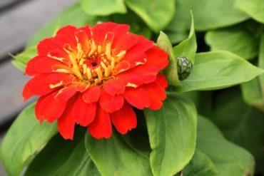 Zinnia 'Magellan Scarlet'