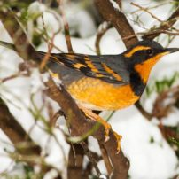 A male varied thrush surveys its snowy surroundings.