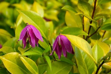 Clematis 'Ruby' pops its blossoms up in a camellia. The leaves are chartreuse to yellow, the result of growing in full sun.