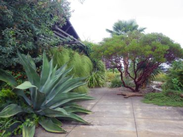 Large agave and arctostaphylos behind the residence