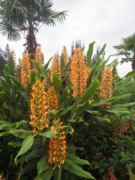 Orange Hedychium