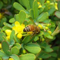 Wilson Barberry (Berberis wilsoniae)