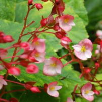 Unidentified Begonia collected by Hinkley in China, 1998