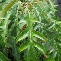 A naturally occurring laceleaf form of Delavay's Schefflera