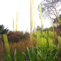 Mediterranean-style garden. Eucomis pole-evansii in the foreground