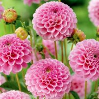 Dahlia Stolze Von Berlin from Van Zyverden (Photo courtesy National Garden Bureau)