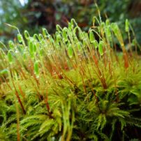 Menzies' tree moss (Leucolepis acanthoneuron) with sporophytes