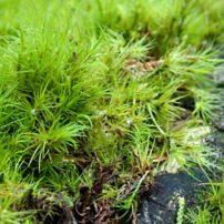 Dicranum scoparium, common on soil and rotted logs and stumps