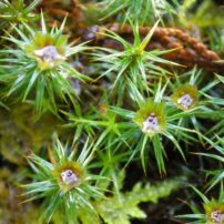 Juniper haircap (Polytrichum juniperinum) showing male spore-producing structures