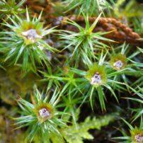 Juniper haircap (Polytrichum juniperinum) showing male spore-producing structures