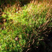 Selwyn's smoothcap moss (Atrichum selwynii), on soil with reddish sporophytes