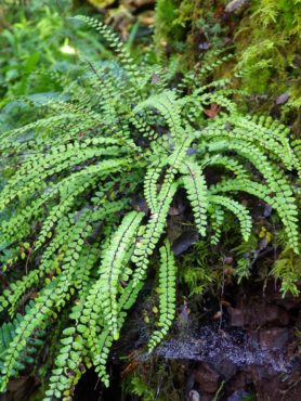 The fern maidenhair spleenwort (Asplenium trichomanes) on a stump