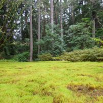 A carpet of bent-leaf moss
