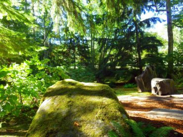 Perennial Aralia to the left of the mossy boulder