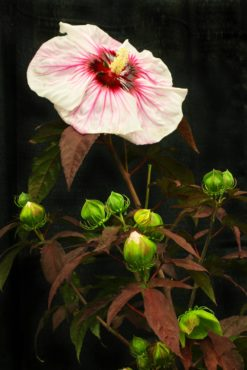Rose mallow — Hibiscus 'Cherry Coco Latte' (Summerific)