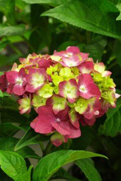 Mophead hydrangea — Hydrangea macrophylla 'Bailmacfive' (Summer Crush)