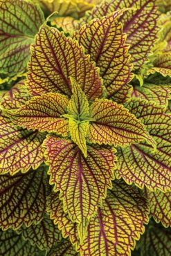 Coleus – Plectranthus scutellarioides (ColorBlaze Golden Dreams)(Photo courtesy Proven Winners)