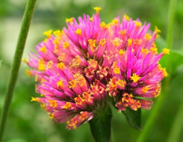 Gomphrena pulchella 'Pink' (Truffula)