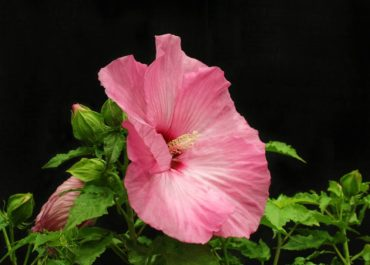 Rose mallow — Hibiscus 'Airbrush Effect'