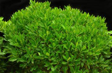 Inkberry holly — Ilex glabra 'Ilexfarrowtracey' (Strongbox)