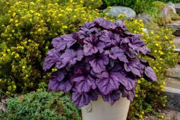 Coral bells — Heuchera 'Wildberry' (Photo courtesy Walters Gardens, Inc)