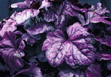 Coral bells — Heuchera 'Wildberry'