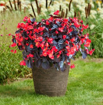 Begonia Viking XL Red on Chocolate is a striking plant great for container gardens. Its large, vibrant red flowers are contrasted with chocolate brown leaves. (Photo courtesy All-America Selections)