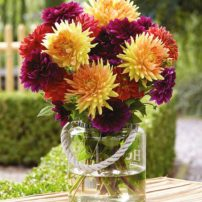 The Sugar Plum Mix of dahlias offers hues of honey gold, burnt orange and violet-mauve, providing a colorful, contemporary blend of dahlias late summer. (Photo courtesy Longfield Gardens)