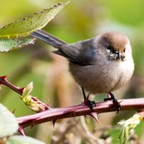 A male bushtit carries lichen for nesting material by Long Lake near Port Orchard.