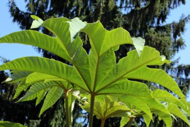 Rice paper plant (Tetrapanax 'Steroidal Giant') has large, typically evergreen or semi-evergreen foliage.