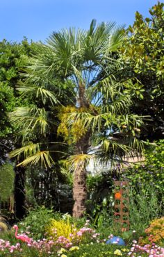 The windmill palm (Trachycarpus fortunei) is perfectly happy growing in our latitude west of the Cascades.