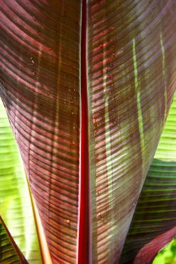 The back side of an unfurling red Abyssinian banana leaf