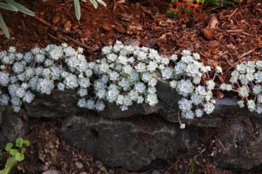 Sedum 'Cape Blanco' colonizing a rock wall