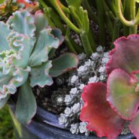 Sedum 'Cape Blanco' grows perfectly with other succulents in a pot.