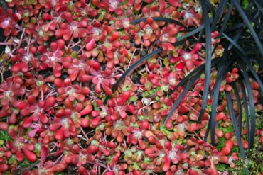 Sedum spathulifolium subspecies purpureum