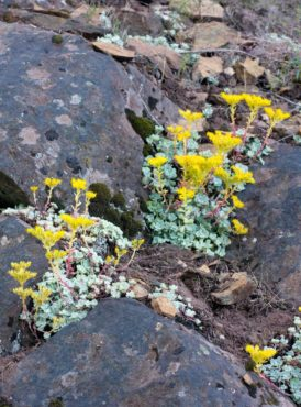 These low-to-the-ground perennials serve a useful purpose in the rock garden.