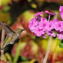 Hummingbirds feed on mosquitoes, other insects as well as flower nectar and feeders. (Photo courtesy Melinda Myers, LLC)
