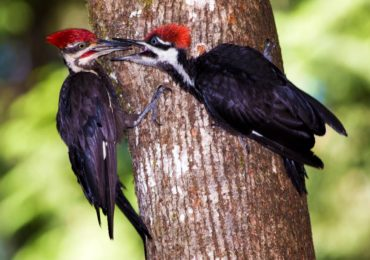 An adult male pileated woodpecker feeds peanut butter suet to a juvenile male.
