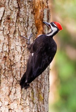 A juvenile male pileated woodpecker practices its wood-pecking skills on a snag.