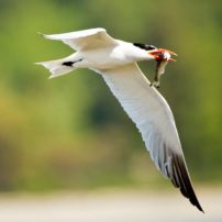 A Caspian tern with a fish after a successful dive