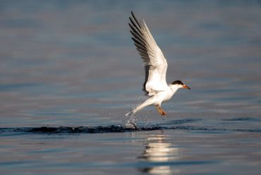 A common tern rises from the water after an unsuccessful dive.