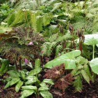 The spring garden comes alive with Podophyllum, Erythronium, Cardiocrinum and Blechnum.
