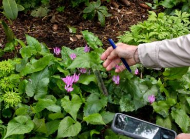 Cyclamen rhodium are identified by a new system of clear plastic tags that are unobtrusive in the garden.