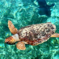 Turtle at Silk Caye