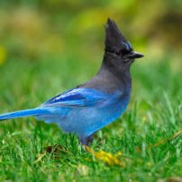 A Steller's jay in a backyard looking for a snack