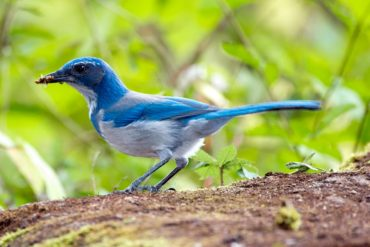 A California scrub-jay feasting on insects