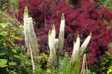 Foxtail lilies (Eremurus) are stunning in front of a smoke bush (Cotinus).