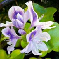Water hyacinths (Eichhornia crassipes) float on top of the water and come into bloom in the summer.