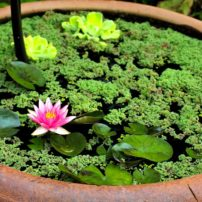 A pygmy water lily (Nymphaea pygmaea 'Rubra') is at home in a shallow water bowl. Fairy moss (Azolla caroliniana) and water lettuce (Pistia stratiotes) float on the water.